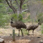 Emus.